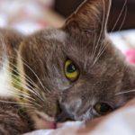 Фелиферон для кошек: инструкция по применению, показания и противопоказания