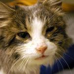 Микоплазмоз у кошек симптомы и лечение, можно ли заразиться человеку?