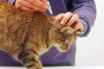 Эффективные средства от блох для кошек