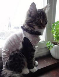 Попона для кошки после стерилизации своими руками: выкройка, как завязать, одеть и когда снимать?