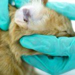 Отодектоз у кошек: причины и лечение