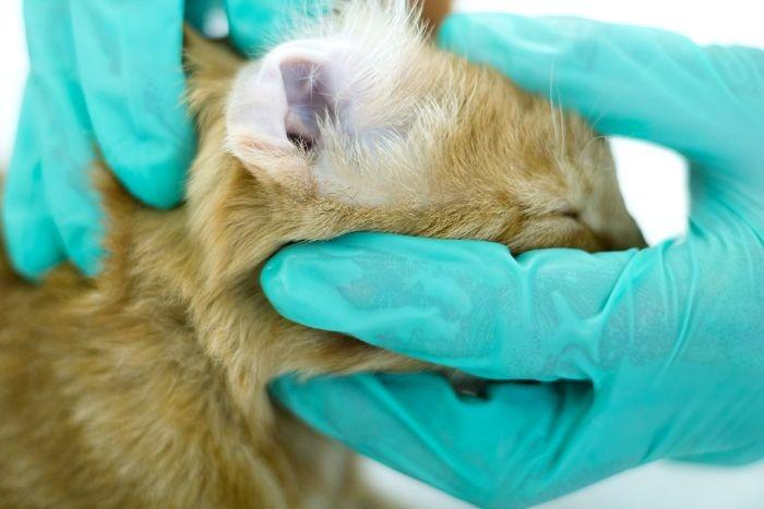 Отодектоз у кошек: симптомы и лечение. Лекарство от отодектоза у кошек