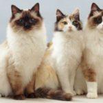 Кошка породы рагамаффин