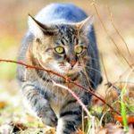 Сибирская кошка (фото): ласковый пушистик с королевским характером