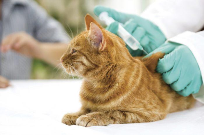 Прививки для кошек Виды и правила проведения обязательной вакцинации