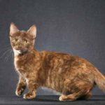 Манчкин кошки: описание породы