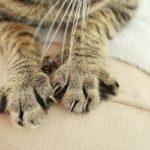 Трава кошачьи лапки: полезные свойства, описание, фото
