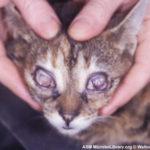 Ринотрахеит у кошек. Причины заболевания, симптомы и лечение