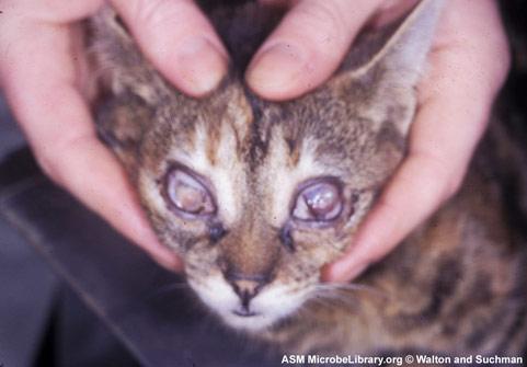 Ринотрахеит у кошек симптомы и лечение в домашних условиях схема лечения вирусного ринотрахеита