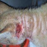 Как выглядит подкожный клещ у кошек, симптомы и лечение