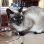 Породы кошек: сиамская (50 фото)