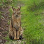 Болотная рысь, хаус или камышовый кот