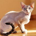 Девон-рекс описание породы и отзывы о кошках