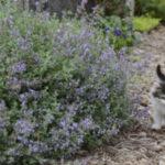 Как выглядит и как применяется кошачья мята, чем полезна для кошек и для человека