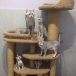 Египетская мау (фото): настоящая кошачья экзотика