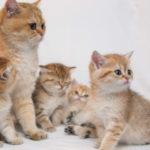 Золотая шиншилла кошка. Описание, особенности, уход и цена породы