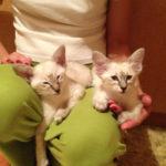 Балинез или балийская кошка