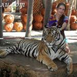 Тигры в паттайе: где и как можно пообщаться с ними?